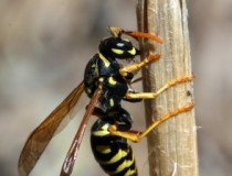 wasps cultivated to protect citrus trees from Huanglongbing citrus greening disease pest control