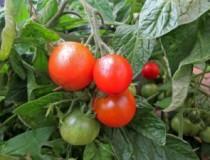 tomatoes_istock-300x225