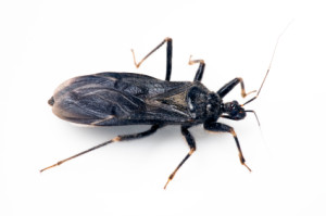 Safety Alert Spread Of The Dangerous Quot Kissing Bug Quot In