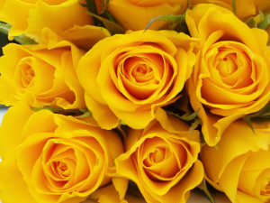 If youre going to live in texas you might as well grow yellow texas is one of the best places in the country to grow roses the yellow mightylinksfo