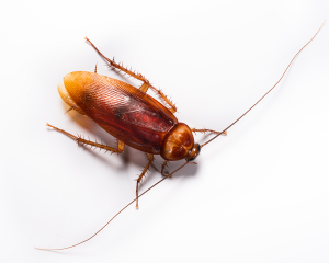 19_American Cockroach