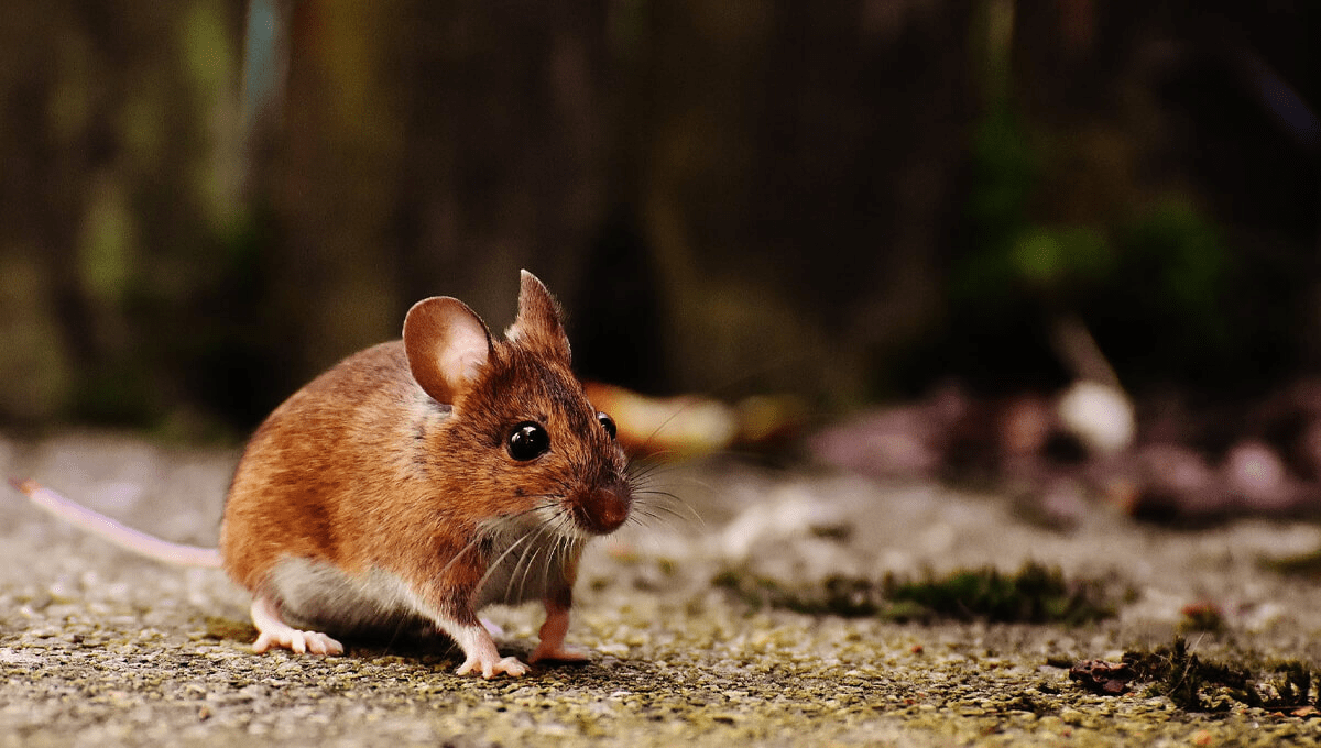 a house mouse running along a pathway