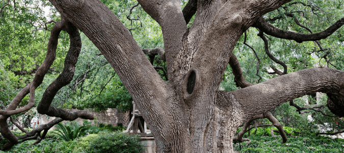 Texas Oak Tree Varieties Abc Blog