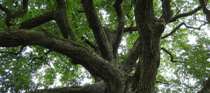 Texas oak trees