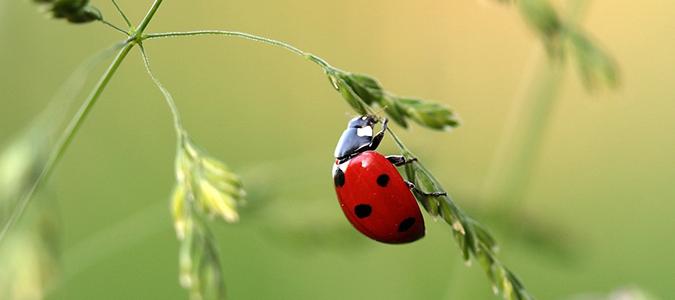 ladybug contol