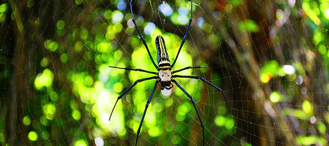 orb weaver yellow garden spider