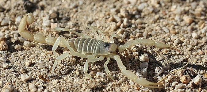 Image result for Found a Baby Scorpion in the House? Here is what you should do