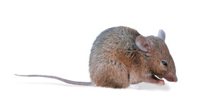 House mice are common in Houston. Do you know what to look for?
