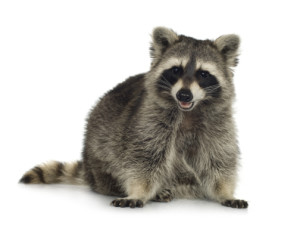 raccoons can cause serious damage and injuries