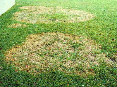 Orlando Brown Patch Fungus Treatment Abc Lawn Care