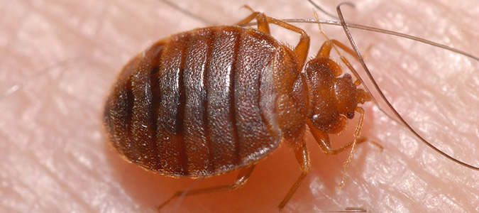 bed bugs can infest any home in Texas