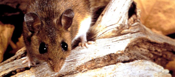 mice are common winter invaders