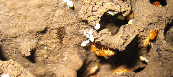 termites damage to home