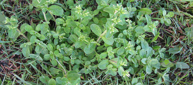 ABC San Antonio Lawn Division Weed Control