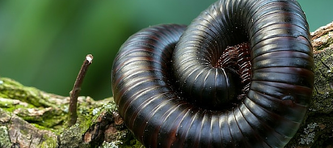 Millipede With Long Legs Millipedes and ...