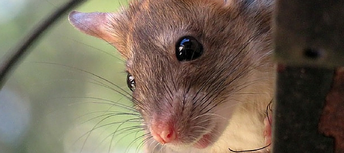 Roof Rats Bigger Threat To Austin Homes Than Termites