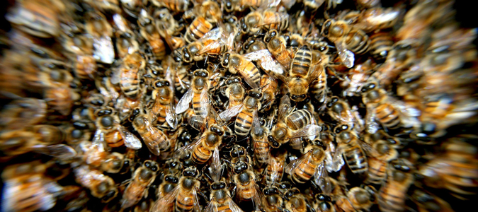 why do bees swarm in Texas?