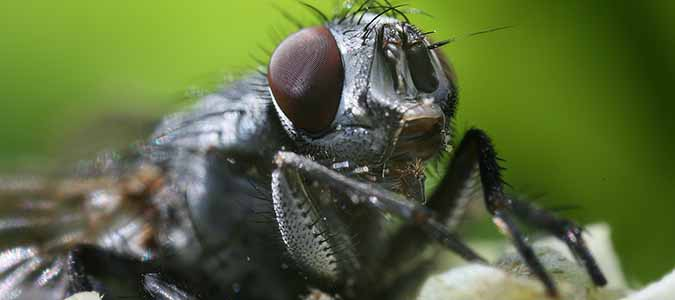 blow flies are part of the decay network