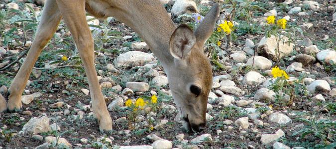 Deer proof plants