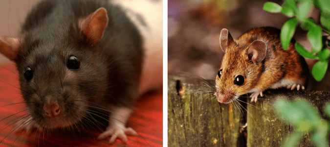 Differences between mice and rats