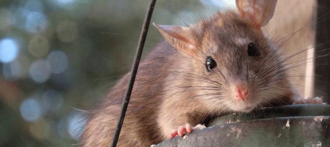 where do rats live