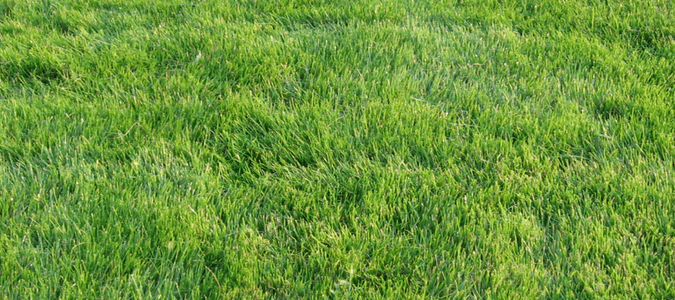 Zoysia grass maintenance