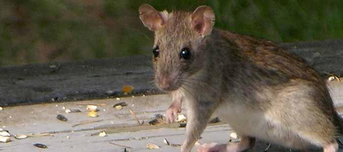 do rats eat acorns