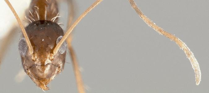 Paratrechina longicornis