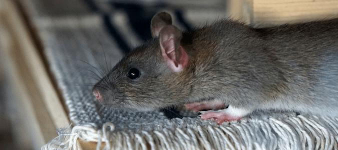 Do rats hibernate in winter