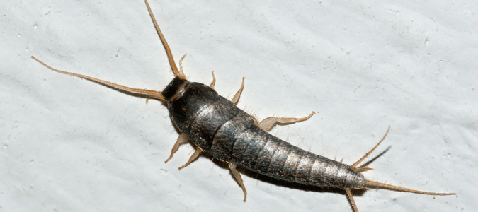 Where Do Silverfish Come From Abc Blog