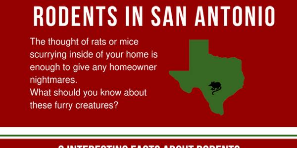 San Antonio Texas rats