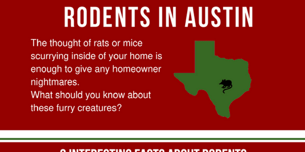 Types of rats in Austin, Texas