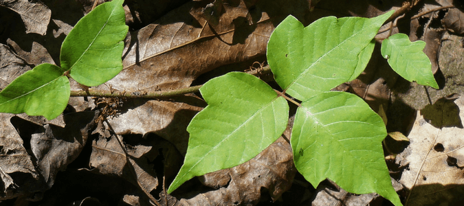 Types of poison ivy