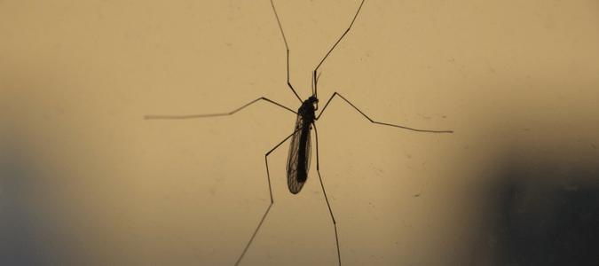 Crane fly vs mosquito