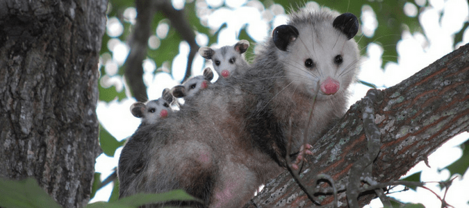 Do Possums Carry Disease