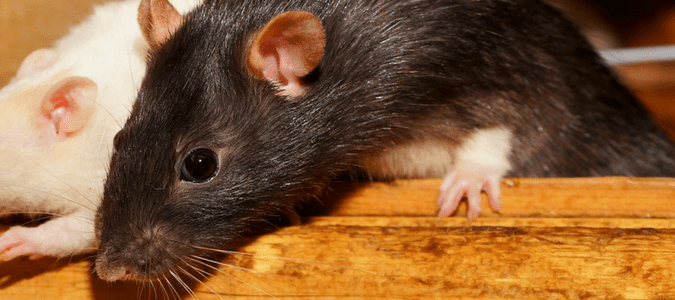 Types Of Rodents And Wildlife In Houston Abc Blog