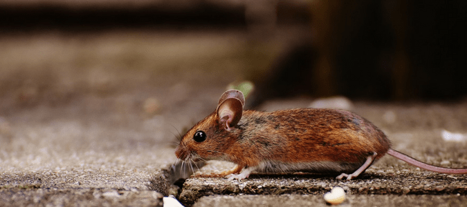 Types of Rodents