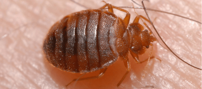 Where Do Bed Bugs Hide On Your Body Abc Blog