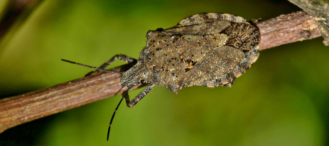 Stink Bugs Texas