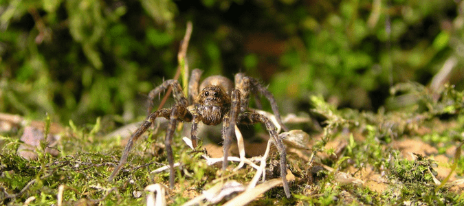 What Do Wolf Spiders Eat >> The Wolf Spider What You Need To Know Abc Blog