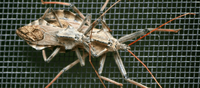 What You Need to Know About An Assassin Bug Bite | ABC Blog