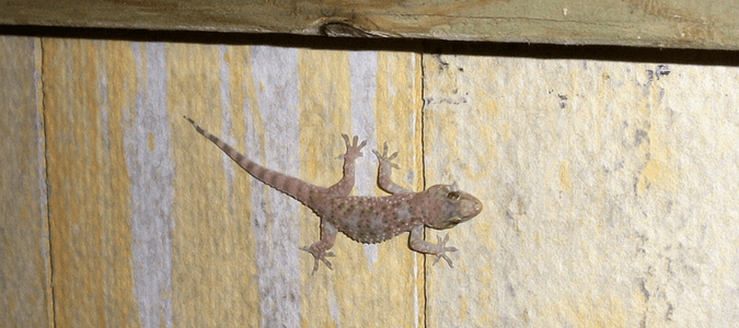 How to Get Rid of Geckos