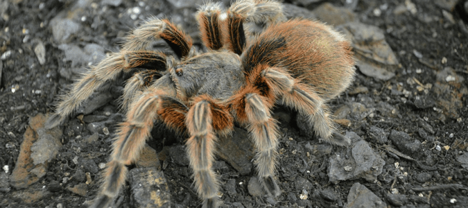 Should You Be Worried About Tarantulas In Texas Abc Blog