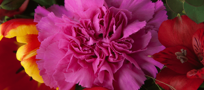 are carnations poisonous to cats
