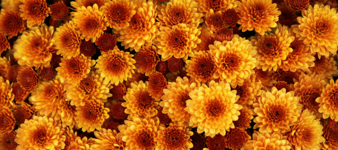 Chrysanthemums in Texas