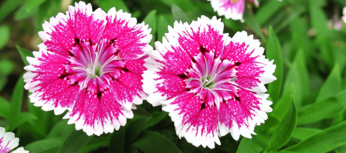 What flowers to plant in the fall in texas abc blog dianthus mightylinksfo