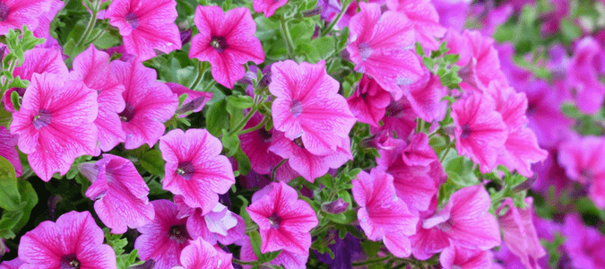Petunias in Texas