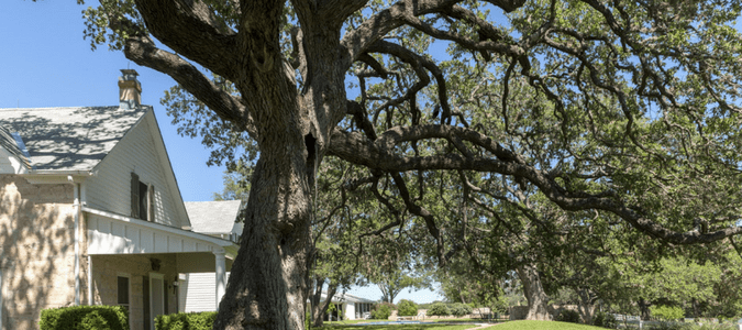 how to trim an oak tree without killing it