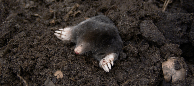 moles in Texas