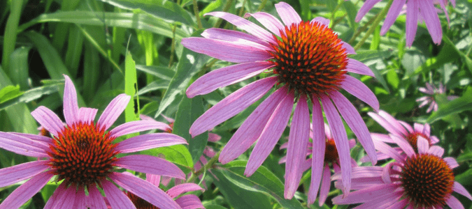 Best perennials Houston